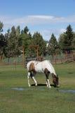 Brown i białego konia pasanie ja Zdjęcia Stock