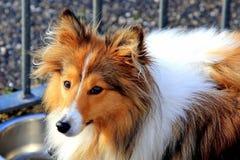 Brown i biały Shetland sheepdog sheltie fotografia stock