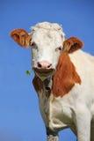 Brown i biała w kratkę szczęsliwa krowa z cztery liści koniczyną Fotografia Royalty Free