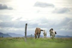 Brown i biali konie biega na zieleni polu Fotografia Stock