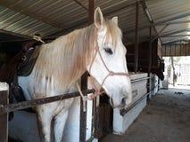 Brown i biali konie w stajence zdjęcie stock