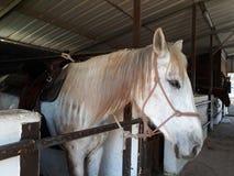 Brown i biali konie w stajence obraz stock