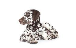 Dalmatyński pies Obraz Royalty Free