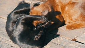 Brown i czarnego kota bawić się gryzienie liże each inny outdoors pod słońca ` s promieniami zdjęcie wideo
