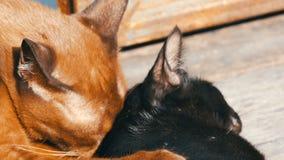 Brown i czarnego kota bawić się gryzienie liże each inny outdoors pod słońca ` s promieniami zbiory