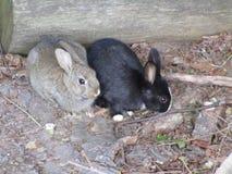 Brown i czarni młodzi królików króliki przy Jerychońską plażą, Vancouver, wiosna 2018 Obrazy Royalty Free
