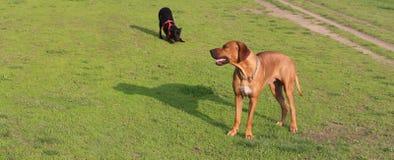 Brown I Czarny pies Zdjęcia Royalty Free