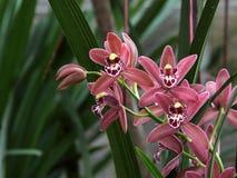 Brown i Czerwona orchidea (Hybrydowy Cymbidium) Obraz Royalty Free