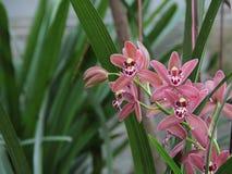 Brown i Czerwona orchidea (Hybrydowy Cymbidium) Zdjęcie Stock