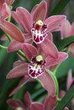Brown i Czerwona orchidea (Hybrydowy Cymbidium) Fotografia Stock