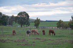 Brown i popielaty puszysty śliczny dziki Alpagowy spacer i jemy zielonej trawy w kraju bujny polu obraz royalty free