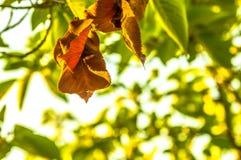 Brown i zieleni liście w drzewie Zdjęcie Royalty Free