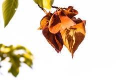 Brown i zieleni liście w drzewie Zdjęcia Royalty Free