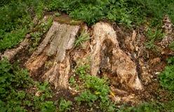 Brown i zielony tło porosły ulistnienie stary drzewny fiszorek obrazy royalty free