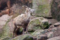 Brown ibex in a stone park. An brown ibex in a stone park Stock Photos