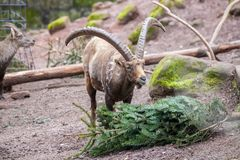Brown ibex in a stone park. An brown ibex in a stone park Royalty Free Stock Photography