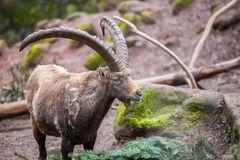 Brown ibex in a stone park. An brown ibex in a stone park Royalty Free Stock Photo