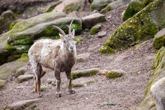 Brown ibex in a stone park. An brown ibex in a stone park Stock Images