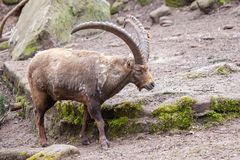 Brown ibex in a stone park. An brown ibex in a stone park Royalty Free Stock Photos