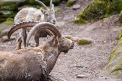 Brown ibex in a stone park. An brown ibex in a stone park Stock Photography