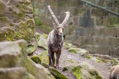 Brown ibex in a stone park. An brown ibex in a stone park Royalty Free Stock Image