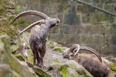 Brown ibex in a stone park. An brown ibex in a stone park Stock Photo