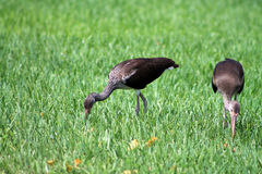 Brown limpkins searching for food Stock Image