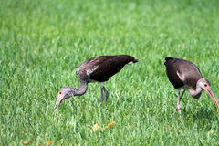 Brown limpkins searching for food. Pair of Scarlet ibises Eudocimus ruber on grass looking for food and eating around a suburban area in Miami, Florida royalty free stock images
