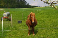 Brown iceland horse standing on the pasture and green medow Stock Photos