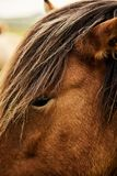 Brown Icelandic horse. Close up stock image
