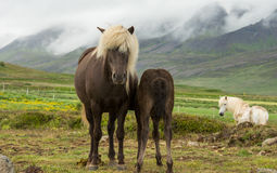 Brown icelandic horse with cub Royalty Free Stock Image