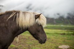 Brown icelandic horse with cub Royalty Free Stock Images