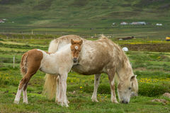 Brown icelandic horse with cub Royalty Free Stock Photography