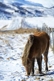 Brown Icelandic horse in front of snowy mountains Stock Photography