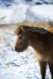 Brown Icelandic horse in front of snowy mountains Royalty Free Stock Photos