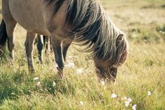 Horse eating grass, grazing on meadow. Brown icelandic horse grazing on pasture eating grass, Faroe Island royalty free stock images