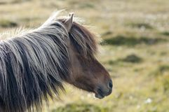Brown icelandic horse head profile, Iceland. Portrait of brown icelandic horse head from profile with long mane royalty free stock photos