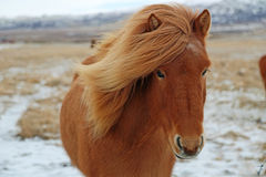 Brown Icelandic horse Royalty Free Stock Photo