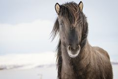 Brown Icelandic horse in the snow stock image