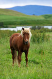 Brown icelandic horse standing in the grass, Myvatn, Iceland Stock Photo
