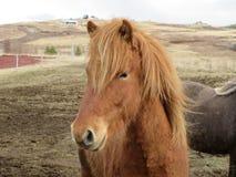 Brown Icelandic horse. A stunningly beautiful brown Icelandic horse enjoying the spring air Stock Photos