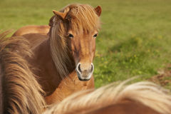 Brown icelandic horses with green background Stock Photo