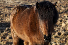 Brown icelandic pony on a meadow Royalty Free Stock Photography
