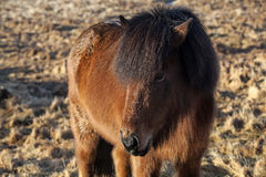 Brown Icelandic pony on a meadow Royalty Free Stock Photos