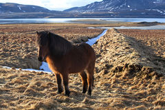 Brown icelandic pony on a meadow Stock Image
