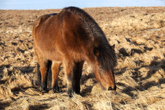 Brown Icelandic pony on a meadow Royalty Free Stock Image