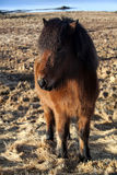Brown icelandic pony on a meadow Stock Photography