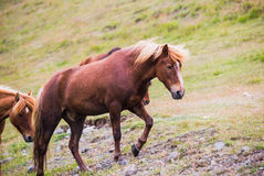 Brown icelandic pony on a pasture. Royalty Free Stock Photo