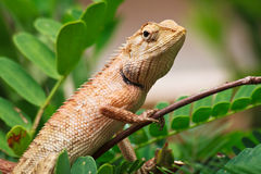 Brown Iguana Stock Photography