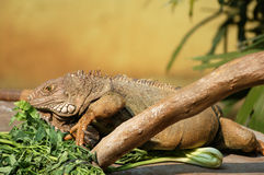 Brown Iguana. On it's nest and foods Stock Photo